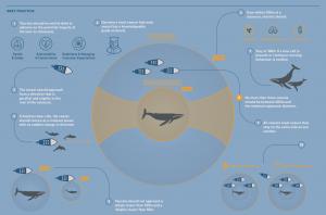 Pautas para la observación de cetáceos de la WCA