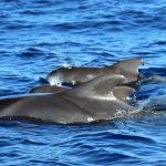 pilot whales at biosean